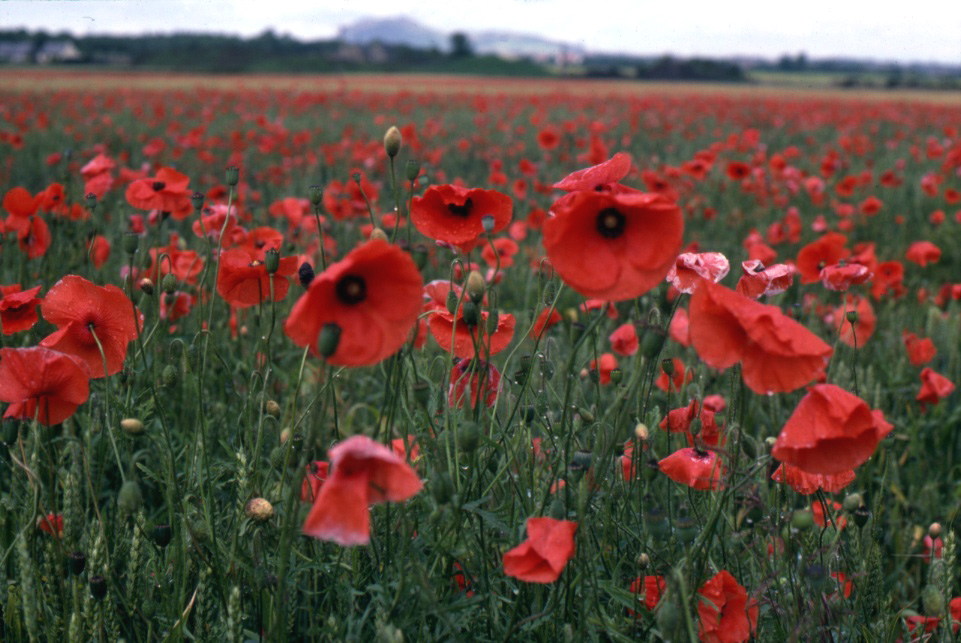 fashionablepeople.files.wordpress.com_2009_11_poppy-flowers-vivid-red-in-field-at-musselburgh-scotland-rescan-retouched-1-ogs