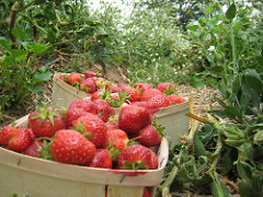 Strawberry 016