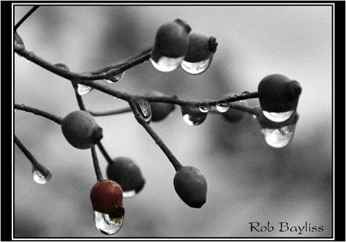 www.bedfordbeacon.com_wp-content_uploads_2010_10_Fall-Berries-lg