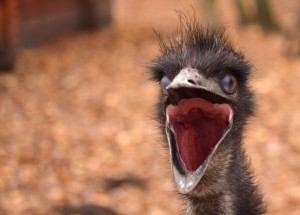 emu bird head