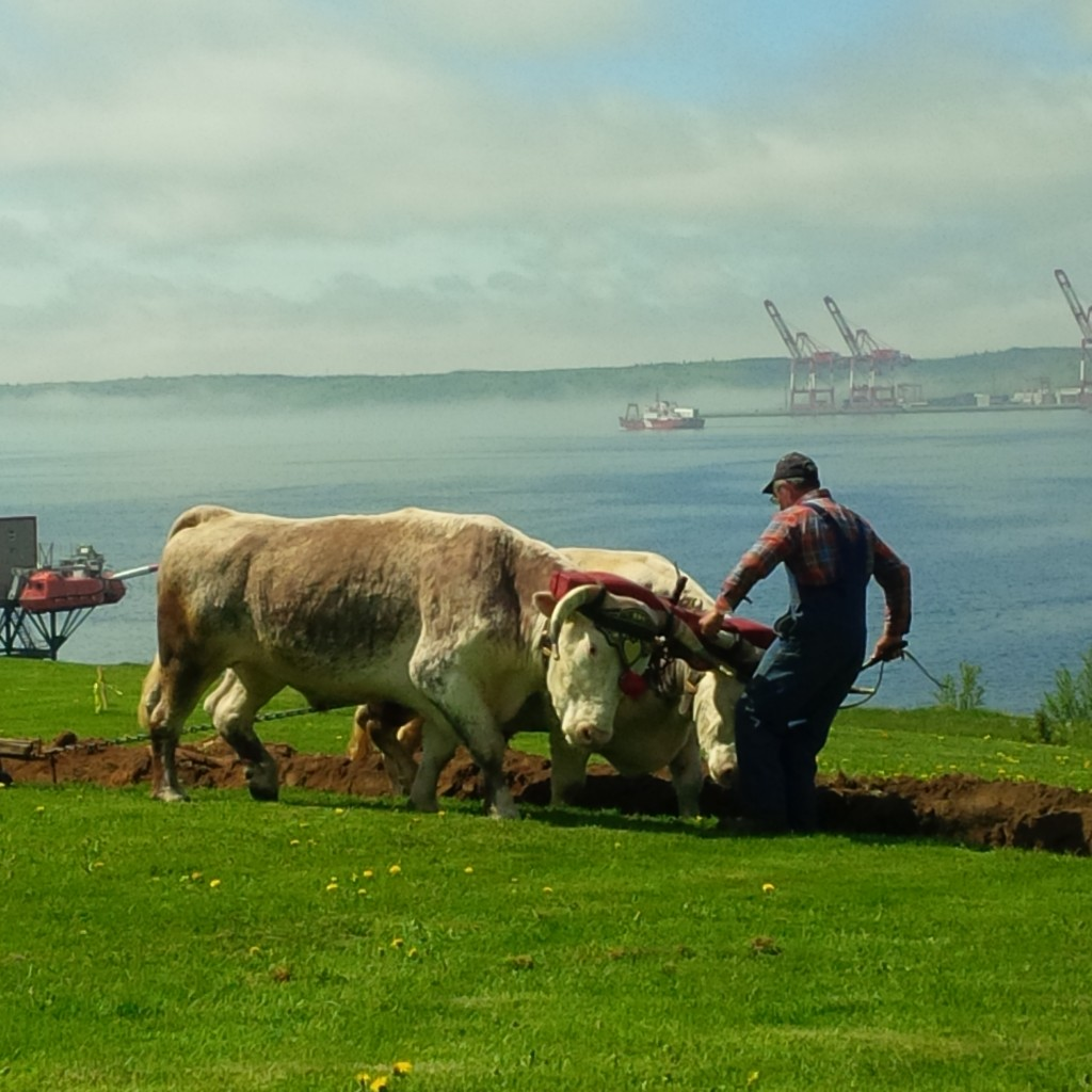 A team of oxen plowed the market garden site during the urban farm
