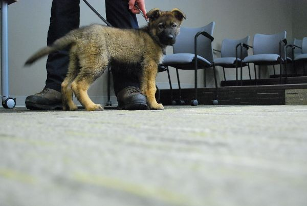 Helo, RCMP puppy recruit.