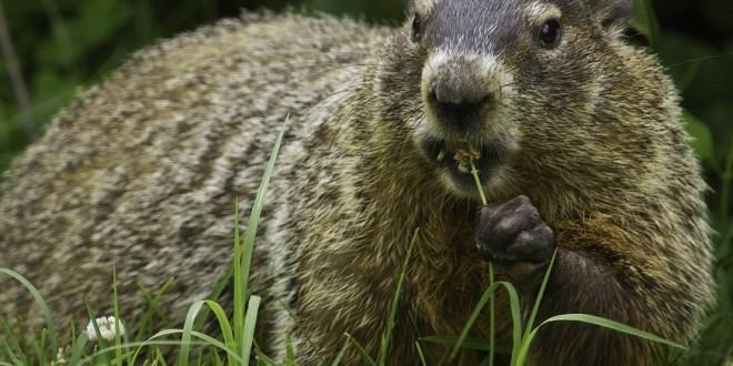 groundhog-956701_960_720