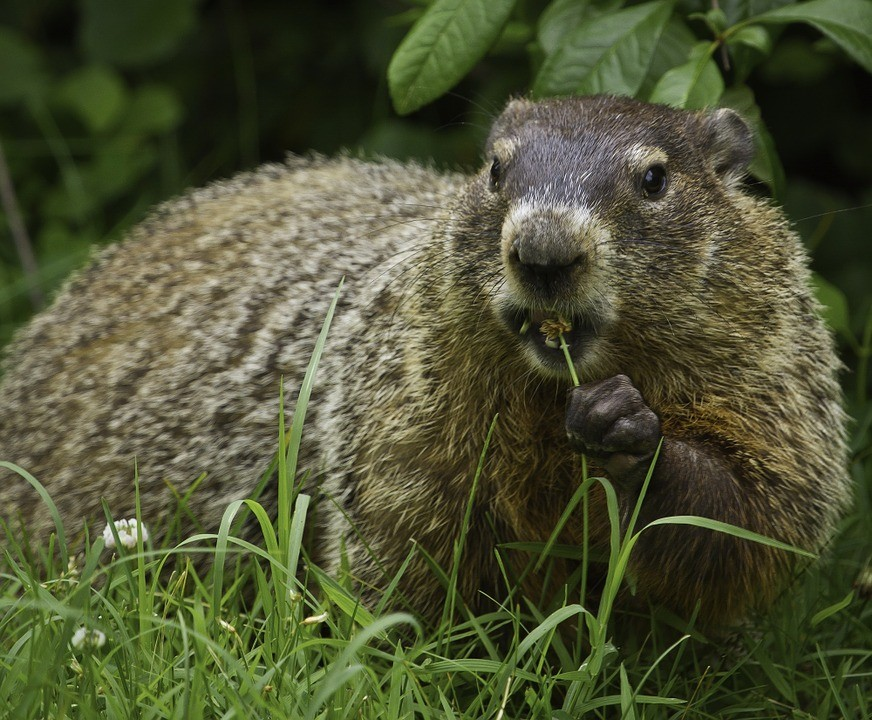 https://pixabay.com/static/uploads/photo/2015/09/25/05/42/groundhog-956701_960_720.jpg