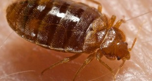 Bed_bug,_Cimex_lectularius