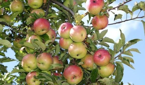 wild-apples